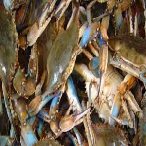 Bushel of Blue Claw Crabs image